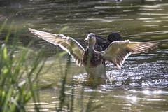 Prêt à décoller (Remnaeco35) Tags: canard ailes mare pentaxk1