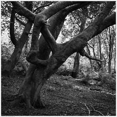 _DSC2559-Enhanced (alexcarnes) Tags: tree woods woodland alex carnes alexcarnes nikon d850 sigma 50mm f14 art