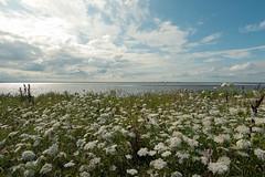 Blütenmeer im Naturschutzgebiet (Sylsine) Tags: deutschland hattstedtermarsch nordfriesland nordstrand pflanzen schleswigholstein beltringharderkoog landschaft natur