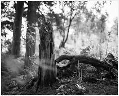_DSC2558 (alexcarnes) Tags: tree woods woodland alex carnes alexcarnes nikon d850 sigma 50mm f14 art