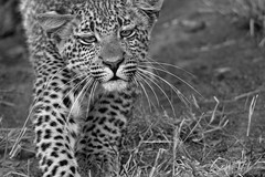 "fine art black & white of Tiyani's leopard cub pulling a face as she walks through the bush. Elephant Plains Game Lodge, Sabi Sand Game Reserve, Kruger National Park, South Africa. (grumpybaldprof) Tags: canon 80d ""canon80d"" sigma 150600mm f563 ""dgoshsmsport"" ""sigma dgoshsmsport"" ""elephantplainsgamelodge"" ""sabisandgamereserve"" ""krugernationalpark"" ""southafrica"" limpopo mpumalanga ""big5"" wildlife lion hippo rhino elephant buffalo ""painteddog"" ""africanhuntingdog"" cheetah ""gamereserve"" lodge ""gamedrives"" ""gamewalks"" animals ""bigcat"" ""gamedrive"" ""gamewalk"" ""wildanimals"" bird squirrel calf ""elephantcalf"" hyena zebra wildebeest giraffe warthog ""treesquirrel"" ""smith'sbushsquirrel"" ""commonzebra"" ""plainszebra"" vervet ""vervetmonkey"" ""nkuhumapride"" brownivorypride"" leopardess lioness waterbuck clan pride pack herd den birds avians impala horns antlers cub expression walking funny"