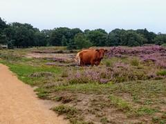 Kampina heide (leobos) Tags: heide heathland heather heath kampina noordbrabant cow boxtel oisterwijk hiking animal