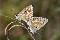 Azuré de la sarriette (Glc PHOTOs) Tags: glc9460 azurédelasarriette pseudophilotesbaton nikon d7500 tamron sp 90mm f28