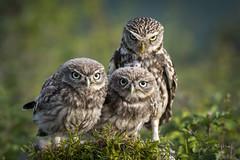 Under a watchful eye (andy_harris62) Tags: littleowls owls birdofprey birds nature naturephotography wildlife wildlifephotography nikon nikond850 nikkor nikkor300mmf28 outdoors outside familygroup