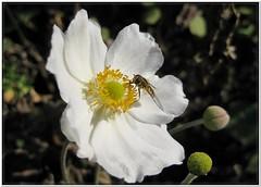 'BEE-autiful!' (TonyFernando) Tags: smileonsaturday beeautiful japaneseanemone flower white macro garden outdoors nature bee