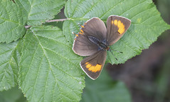 Brown Hairstreak (Thecla betulae). (Bob Eade) Tags: brownhairstreak theclabetulae hairstreak autumn butterfly lycaenidae lepidoptera westsussex sussex bramble blackthorn