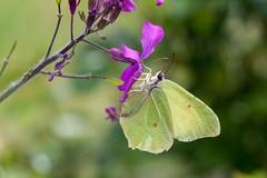 Papillon (clamar18) Tags: butterffly jaune citron insecte jardin mérysurcher france papillon
