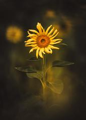 little miss sunshine (christian mu) Tags: sunflower sonnenblume gronau germany christianmu 13518gm 135mm nature summer bokeh sony sonya7riii sonya7rm3