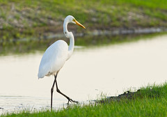 out for an evening stroll (f.tyrrell717) Tags: egret big bird jersey girls photo adventuress white bogs pine barrens