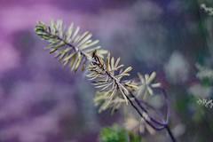 Salvaje (Moreti Redflex) Tags: luz magia magico verde morado paisaje hoja colores bokeh belleza naturaleza flor planta