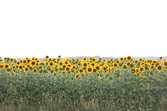 Regardez-moi.. svp (pascal445) Tags: tournesol touraine campagne rural countryside yellow outdoor landscape field champs travel france
