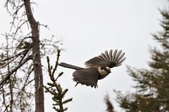 Birdy (timon.blub) Tags: quebec canada travel bird animal gaspesie forest flying