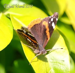 Red Admiral (David Warrell) Tags: fujixe2 fujixf100400mmf4556rlmoiswr inthegarden closeup redadmiral butterfly insects northamptonshireuk