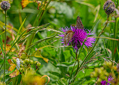 3 insects gathered (Chris Atkins65) Tags: butterfly insect flower beetle nature