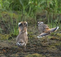 Mating Ritual (I) (Gabriel.Lascu) Tags: bird killdeer charadriusvociferus killdeermaleandfemale killdeercouple killdeermatingritual