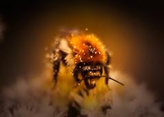 Bee-autiful! (ursulamller900) Tags: pentacon3530 extensiontube 12mm makroring mygarden bee biene insekt smileonsaturday beeautiful orange