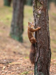 Tree Hugger (Chris Willis 10) Tags: fornby redsquirrels squirrel rodent animal nature wildlife mammal outdoors tree brown cute forest tail animalsinthewild fur autumn woodland looking eating oneanimal closeup