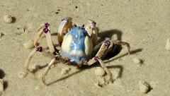 Soldier crab (ISO 69) Tags: soldier crab soldiercrab animal wildlife tier krabbe krabben strand beach fraser island insel queensland australia australien