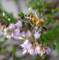 honey bee 71/100x 2019 (sure2talk) Tags: honeybee smileonsaturday beeeautiful macro closeup nikond7000 nikkor85mmf35gafsedvrmicro heather newforest 100xthe2019edition 100x2019 image71100 71100x2019