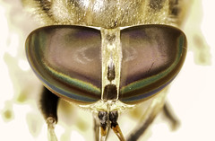 See You (Klaus Ficker --Landscape and Nature Photographer--) Tags: horsefly closeup macro eye colorful kentuckyphotography klausficker canon eos5dmarkiv tamron180mmmarco nature insect beautiful