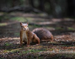 Smiley Squirrel (Chris Willis 10) Tags: fornby redsquirrels animal mammal rodent cute squirrel nature wildlife fur outdoors brown animalsinthewild grass small tail forest autumn looking fluffy oneanimal closeup