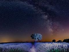 The Milky Way and the Lavender Fields ........., La Vía Láctea y los Campos de Lavanda......... (Joerg Kaftan) Tags: milkyway stars night landscape lavender fields brihuega castillalamancha panoramic canon eos7markii vialactea estrellas noche paisaje lavanda campos panoramica