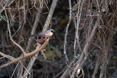 Waxbill Black-faced (michael heyns) Tags: bird blackfacedwaxbill 2019 waxbillsmuniasandallies mashatu estrildaerythronotos estrildidae
