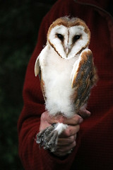 Young Barn Owl (Martin Rann Photography) Tags: britishbirds birdphotography canon eosm5 birds wildlifephotography barnowl