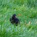 Moorhen chick, 2019 Aug 13 -- photo 3