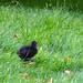 Moorhen chick, 2019 Aug 13 -- photo 1