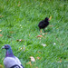 Adult townpigeon and moorhen chick, 2019 Aug 13