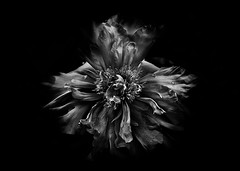 Backyard Flowers In Black And White 49 (thelearningcurvedotca) Tags: briancarson canada thelearningcurvephotography toronto abstract art background backyard beautiful beauty blackandwhite bloom blossom bnw bunch close closeup contrast dark decoration delicate detail flora floral flower fresh garden grown growth leaf light macro monochrome nature outdoors pattern petal photo photograph photography plant round season single spring summer unique vibrant wild awardflickrbest bwartaward bwmaniacv2 bej blackwhite blackwhitephotos blackandwhiteonly bwemotions cans2s discoveryphotos iamcanadian noiretblanc true2bw yourphototips