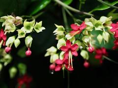 ベニゲンペイカズラ (arty822) Tags: flower ベニゲンペイカズラ 新宿御苑 赤