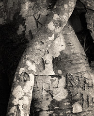 More Writing on Trees º (CactusD) Tags: film greatbritain great britain uk unitedkingdom gb beech trees tree ilford blackandwhite monochrome bw black white blackwhite epson v850 silverfast closeup texture landscape details writingontrees callimachus acontius corneliusgallus virgil eclogues pastoral elleric scotland argyll argyllandbute 6x6 120 mediumformat delta400 delta hasselblad 500cmclassic vseries carlzeiss80mmf28cfplanar