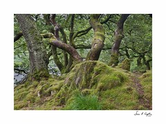 Tanglewood (Simon Caplan) Tags: wales northwales snowdonia llyndinas welshlandscape woodlandlandscape woodland forest
