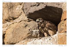 Le faucon crécerelle (BerColly) Tags: france auvergne puydedôme oiseau bird faucon crécerelle nourrissage feeding bercolly google flickr