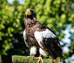 Photo of Steller's Sea-eagle at Royal Highland Show
