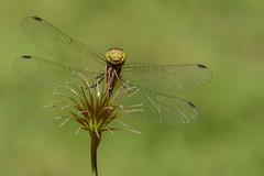 Libellule/Dragonfly (jean-francoislavallée) Tags: libellule dragonfly insecte insect macro nature wildlife quebec canada nikon