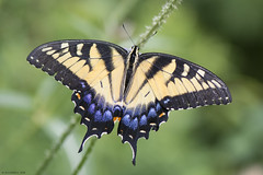 Butterfly 2019-110 (michaelramsdell1967) Tags: butterfly butterflies nature macro animal animals insect insects bokeh yellow green black blue beauty beautiful pretty lovely detail delicate fragile upclose closeup vivid vibrant meadow wings swallowtail bug bugs zen