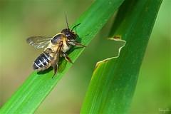 leafcutting bee (takapata) Tags: sony sel90m28g ilce7m2 macro nature beeautiful smileonsaturday