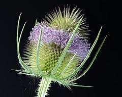 IS7DII_98982-90 Stack (Ian Slingsby) Tags: teasel macro focusstack flower