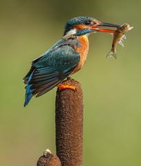 Kingfisher (waynehavenhand1) Tags: wildbird wildlife alcedo atthis nature fish bird fishing female kingfisher