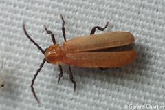 Net-winged Beetle (Lycidae) (GeeC) Tags: lighttrap animalia nature cambodia arthropoda tatai kohkongprovince insecta lycidae coleoptera elateroidea beetles clickbeetles netwingedbeetles