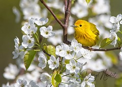 Yellow Warbler (daryl nicolet) Tags: bird birds warblers flowers apple tree bloom blossoms yellow canon sigma outside nature