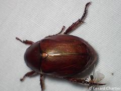 Anomala densa (GeeC) Tags: anomaladensa rutelinae scarabaeidae cambodia animalia nature tatai arthropoda lighttrap kohkongprovince insecta coleoptera scarabaeoidea anomala beetles scarabbeetles