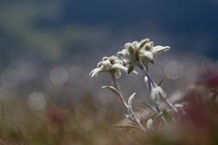 Edelweisse (fauconpèlerin) Tags: fleur flower switzerland swiss weisse blanc suisse outdoor outside paysage green jolie landscape couleur vert valais bleu brun black nature montagne bokeh herbe
