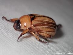 Anomala pallida (GeeC) Tags: rutelinae scarabaeidae cambodia kohkongprovince tatai nature lighttrap coleoptera animalia anomalapallida insecta arthropoda scarabaeoidea anomala beetles scarabbeetles