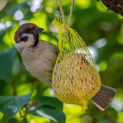Tiere&Insekten_10 (NiBe60) Tags: vogel spatz sperling feldsperling singvögel meisenknödel futterknödel bird sparrow songbirds corn dumpling fodder