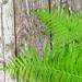 Green fern leaves ( Blechnum spicant ) on wooden background