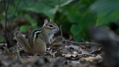 Danger on the Forest Floor (jakegurnsey) Tags: wildlife mammal sony animal ontario nature a6300 eastern chipmunk